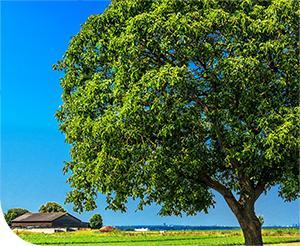 Hogyan mentsük meg a diófát és termését?